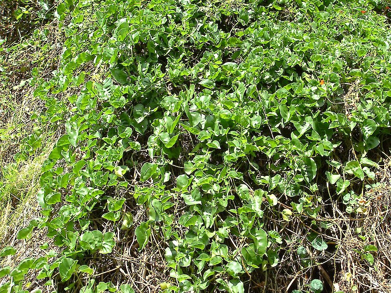 Mignonette vine • Weedbusters