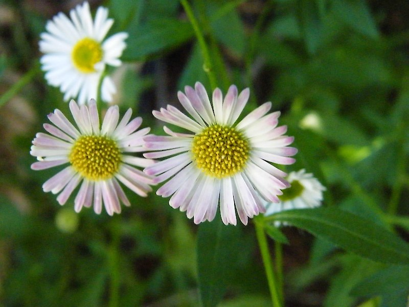 Kg Near Me >> Mexican daisy • Weedbusters