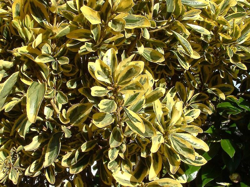 Japanese Spindle Tree Weedbusters
