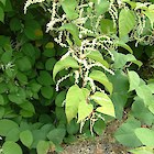 Asiatic knotweed