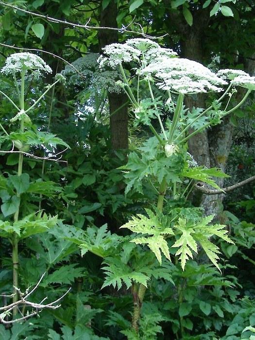 Giant Hogweed Weedbusters
