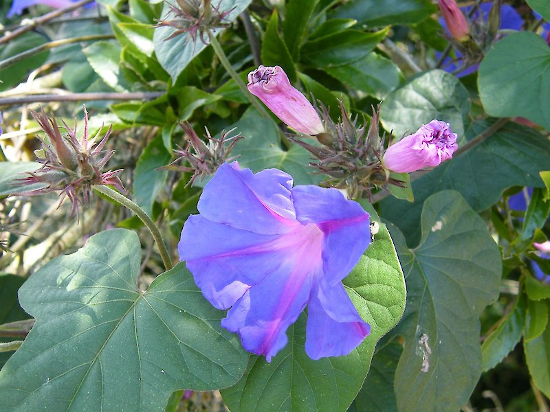 Kg Near Me >> Blue morning glory • Weedbusters