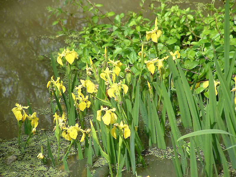 Yellow flag iris weedbusters images mightylinksfo