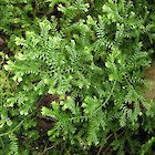 African club moss